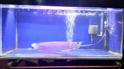 akuarium ikan arwana