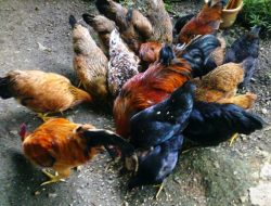 Ternak Ayam Kampung, Usaha Sampingan Dengan Modal Terjangkau