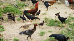 ayam kampung 2