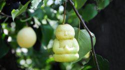 buah pear unik