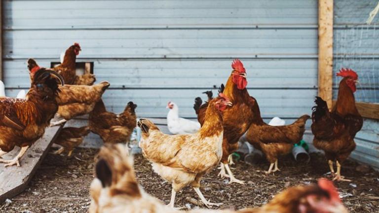 kandang koloni ayam petelur