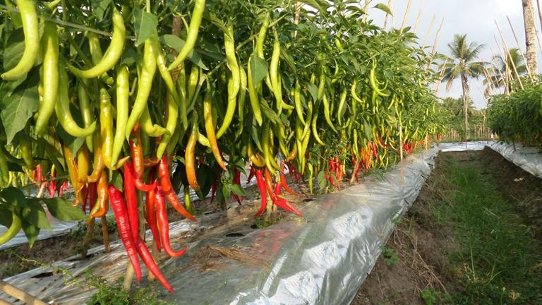 lahan budidaya tanaman cabe