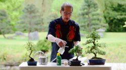 menyiram bonsai