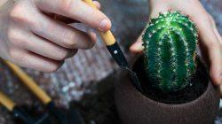 merawat kaktus