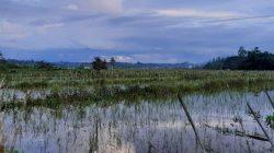 Air hujan menggenangi sawah di Desa Bukit Raya, Kecamatan Tenggarong Seberang, Kutai Kertanegara, Kalimantan Timur.