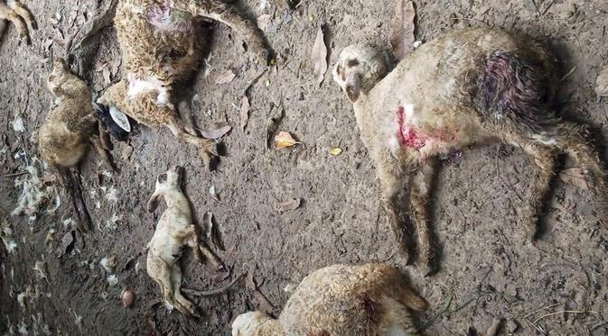 kambing warga mati diserang anjing liar/ahmad adirin/liputan6/ist