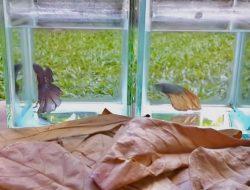 Ini Alasan Kenapa Daun Ketapang digunakan untuk Ikan Cupang