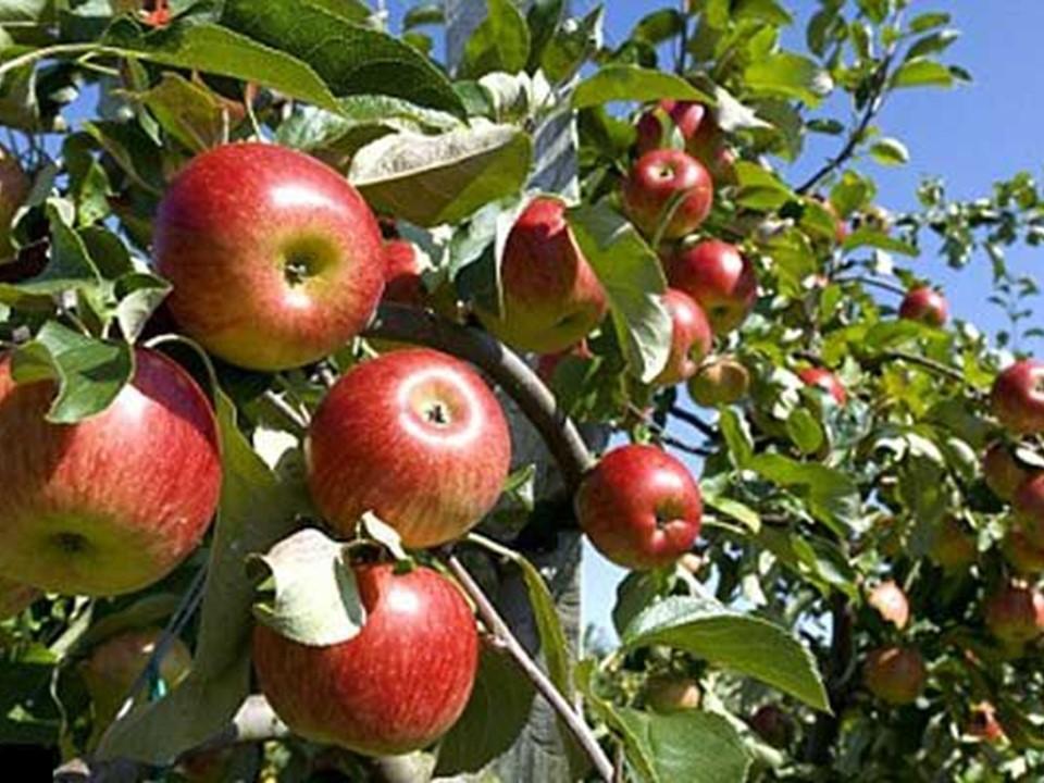 Kebun Apel Malang