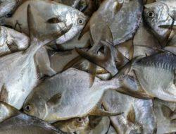 Jelang Imlek, Harga Ikan Bawal di Bantul Melonjak Hingga Rp 250 Ribu Per Kg
