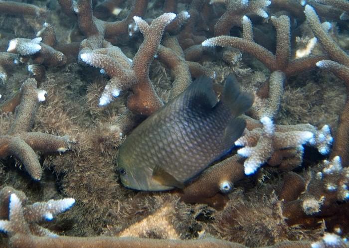 Ikan Damslfish yang sedang melindungi alga