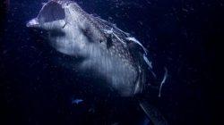Ikan Hius Paus (Whale shark)