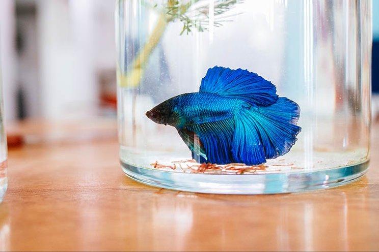 Ikan cupang (Betta sp).
