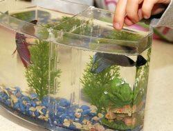 Jenis Pakan Alami dan Buatan yang Cocok untuk Ikan Cupang