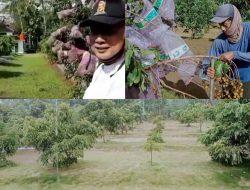 Kebun Lengkeng Ala TNI, Dijadikan Agrowisata Hingga Berpenghasilan Ratusan Juta.