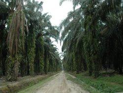Panen Hasil Replanting Lebih Awal, Sumatera Selatan Dapatkan Produksi Sawit Maksimal