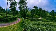 Kebun Teh di Bogor