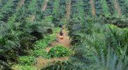 Perkebunan Indonesia