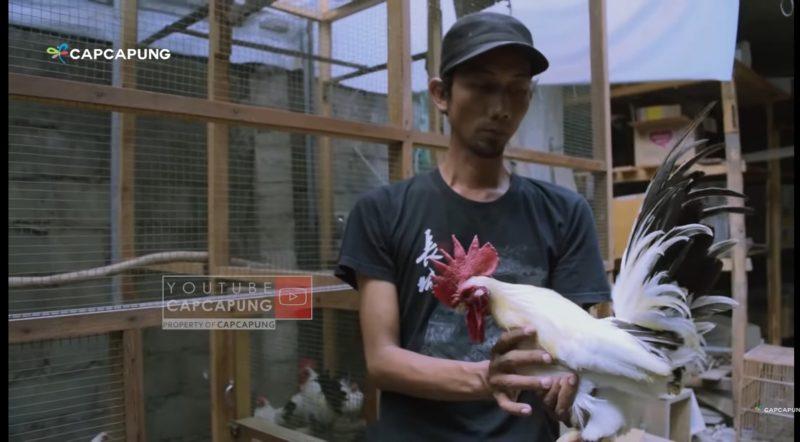 Screenhot youtube CapCapung/Syafruddin memegang ayam chabo/ist