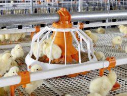 Banyuwangi Support Peternakan Ayam Ramah Lingkungan, Pakai Mesin dan Tak Berbau