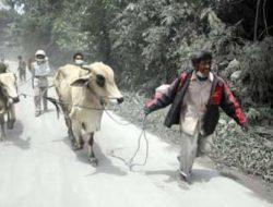 Aktivitas Merapi Meningkat, Ternak-ternak Warga pun Mulai Didata