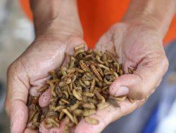 Pensiun dari Kontraktor, Hari Berhasil Beternak Maggot dan Ikan