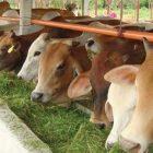 ilustrasi peternakan sapi/IST