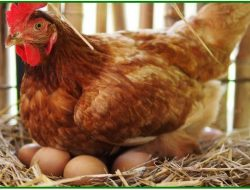 Telur dari Jatim Banjiri Garut, Hendra: Telur Peternak Lokal Kurang Laku