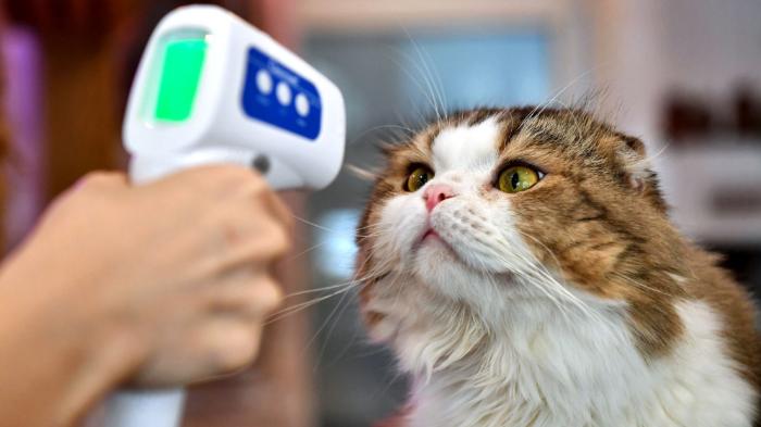 ilustrasi mengontrol suhu tubuh kucing peliharaan