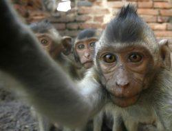 AS Bakal Produksi 10 Ribu Monyet karena China Hentikan Ekspor Monyet
