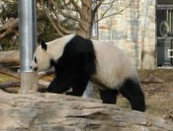 Di China, Kotoran Panda Didaur Ulang Jadi Tisu, Harganya 10 Kali Lipat