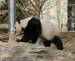 ilustrasi panda/ist