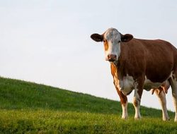 Risiko Beternak Tinggi, Peternak di Mojokerto Diajak Asuransikan Hewan Ternak