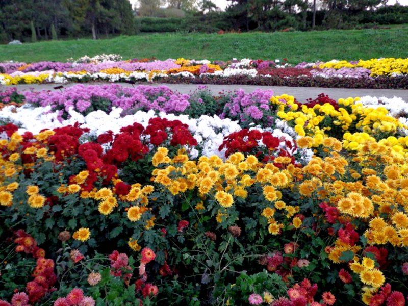 Taman tanaman bunga krisan