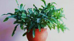tanaman pakis blue star