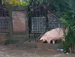 Daripada Ternak Mati, Warga Kalasey Minahasa Pilih Lepas Ternak Saat Banjir
