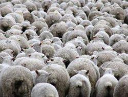 Kepala Desa: Desa Wargaluyu Berpotensi Jadi Sentra Ternak Domba