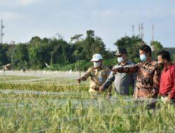 Tinjau Sawah Di Namang, Gubernur Babel Siap Kembangkan Pertanian Modern