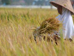 Guru Besar Faperta UGM: 10 Tahun Terakhir Produksi Padi Nasional Melandai