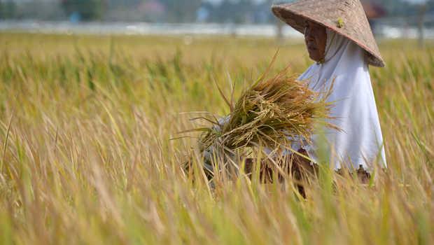 Petani memanen padi di desa Limpok, Kecamatan Krueng Baruna Jaya, Kabupaten Aceh Besar, Aceh, Selasa (2/2/2021). Petani menyatakan pada musim panen awal tahun ini harga Gabah Kering Panen (GKP) membaik kisaran Rp4.750 per kilogram dibanding sebelumnya Rp 4.550 per kilogram atau masih di atas Harga Pembelian Pemerintah (HPP) Rp 4.250 per kilogram. ANTARA FOTO/Ampelsa/foc.