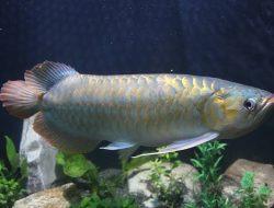 Ini Kelebihan Ikan Arwana yang Bikin Pemeliharanya Susah Berpaling