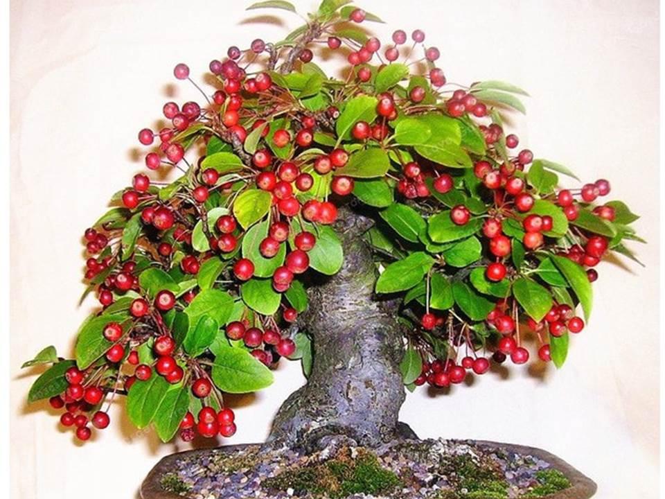 Contoh Tanaman Bonsai