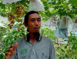 Modal NgeYoutube, Muhtasim Berhasil Budidaya Anggur hingga Jual Bibit