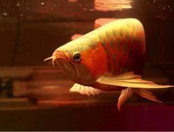 Polisi Selidiki Dugaan Korupsi Pengadaan Ikan Arwana di Kapuas Hulu