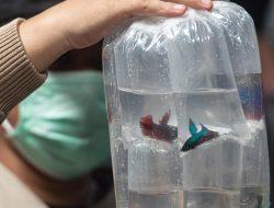 Penanganan Ikan Cupang yang Datang dari Pengiriman Jauh