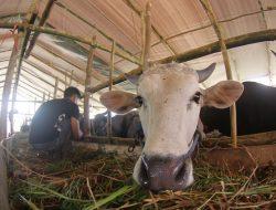 Petani di Probolinggo Lebih Tertarik Asuransi Ternak daripada Asuransi Pertanian