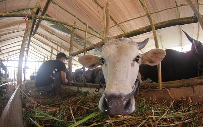 Ilustrasi. Peternak sedang beraktivitas di Peternakan Sapi/Paksi Sandang Prabowo/Kaltim Post/IST