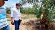 Dilansir dari Fajar - Anggota DPRD Wajo Elfrianto bersama penjaga kebun, Muhammad Arsyad saat diperkebunan kurma di Desa Wewangrewu Kecamatan Tanasitolo