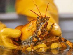 Nelayan di Teluk Maine Temukan Lobster Banana