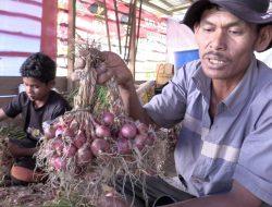 Petani Horti di Lahan Food Estate Humbahas Mulai Panen