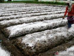 Teknologi Pupuk Batubara, Solusi Baru Atasi Keterbatasan Pasokan Pupuk Pertanian